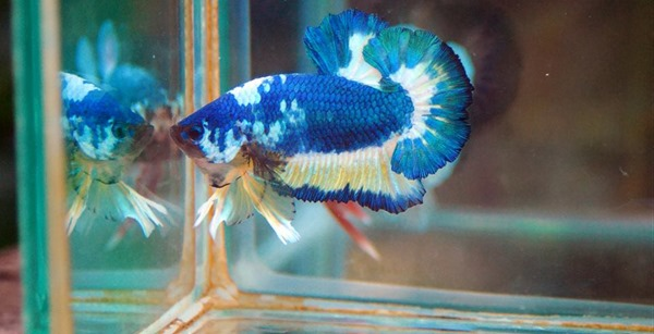 fancy-marble-1-king-betta-farm-thailand-shop