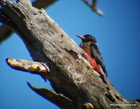 Photo: Adult Lewis's Woodpecker in the Awbrey Hall burn west of Bend, OR