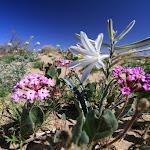 Desert Lily - лилия пустыни
