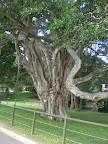 Krasser Riesenbaum