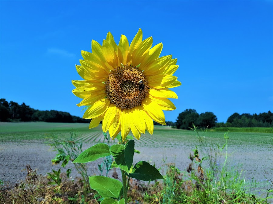 Sunflower and bee by Svetlana Saenkova - Instagram & Mobile Android ( blue sky, yellow, yellow flower, summer,  )