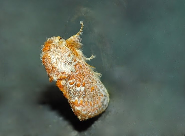 Limacodidae : Pseudanapaea denotata WALKER, 1865. Umina Beach (New South Wales, Australie), 27 mars 2011. Photo : Barbara Kedzierski http://lepidoptera.butterflyhouse.com.au/lima/transvestita.html