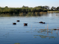 Hippos - Okavango Delta