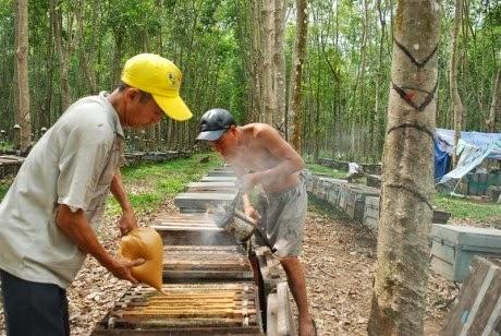 Thợ nuôi ong dưỡng ong khi nguồn mật trên cây cao su đang cạn