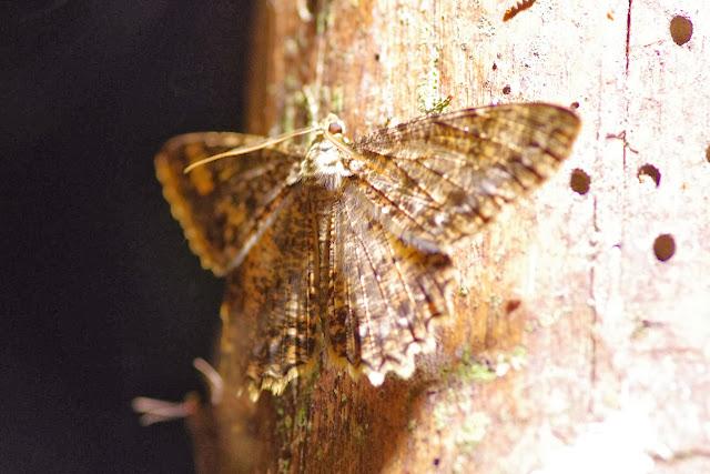 Ennominae : probablement Epimecis fraternaria (GUENÉE, [1858]). Los Cedros, 1400 m, Montagnes de Toisan, Cordillère de La Plata (Imbabura, Équateur), 18 novembre 2013. Photo : J.-M. Gayman