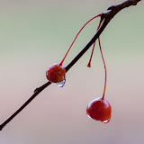 Crabapple_MG_2855-copy.jpg