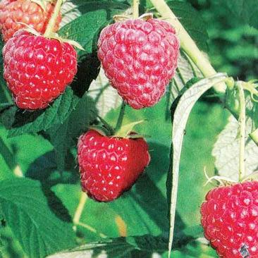 Полесье (Polesie Raspberry) саженцы малины Полесье трезе купить