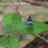 Mesosemia gneris WESTWOOD, 1851, mâle. Saül, novembre 2012. Photo : M. Belloin