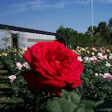 cultivo de plantas florales perennes - 100_0889.JPG