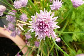 fleur de ciboulette.JPG