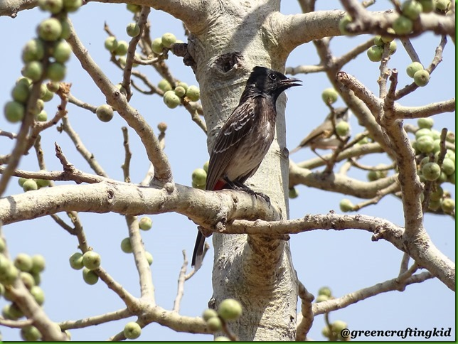 Red Vented Bulbul2