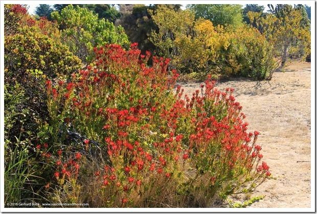 160813_UCSC_Arboretum_044