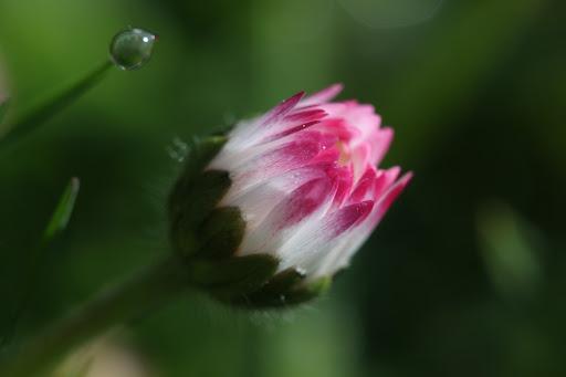 Sedmokráska so svojou kvapkou