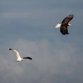 Sharing the Sky by Craig Lybbert - Animals Birds ( flight, bald, sea gull, bald eagle, clouds, birds )