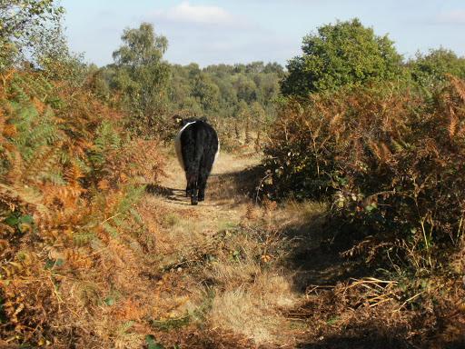 DSCF2055 Belted Galloway on Headley Heath