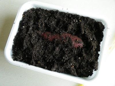 発泡スチロールの箱にサツマイモを植える