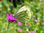 Grønåret kålsommerfugl.jpg