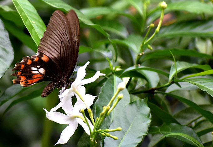 Moments with an Indian common rose butterfly