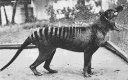 [Last+Thylacine%5B4%5D]