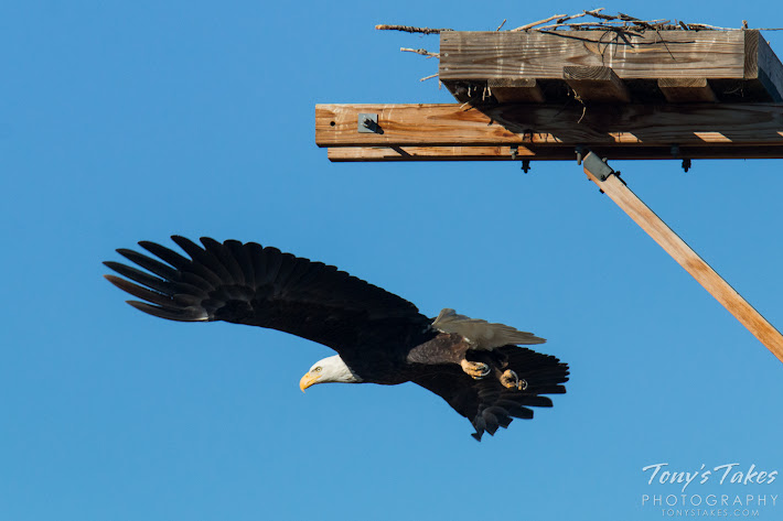 Bald Eagle male takes flight. 4 of 6. (© Tony's Takes)