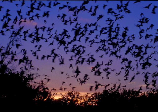 Wind turbines are giant killers of bats