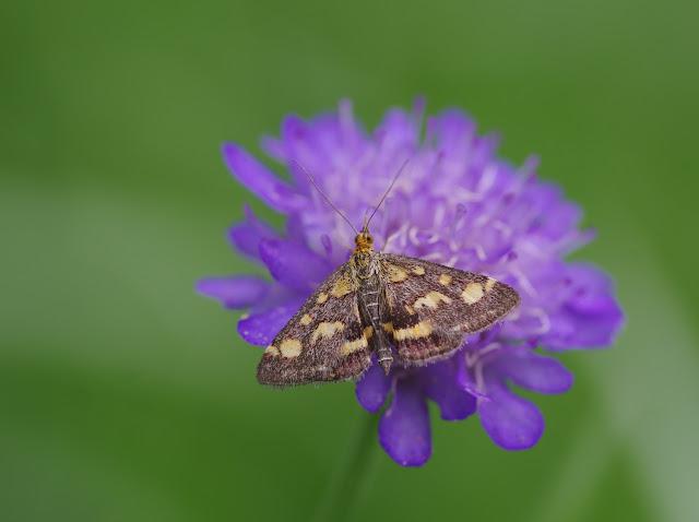 Crambidae : Pyraustinae : Pyrausta purpuralis (L., 1758), spécimen âgé. Les Hautes-Lisières (Rouvres, 28), 8 septembre 2015. Photo : J.-M. Gayman