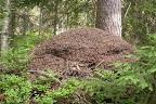 Sarang Semut Merah