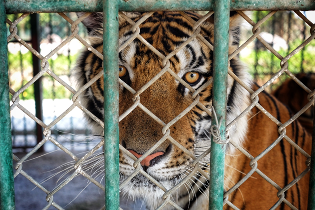 An adult tiger in a captive breeding facility suspected of farming tigers for its bones and other parts. Photo: Janissa Ng / WWF-Singapore