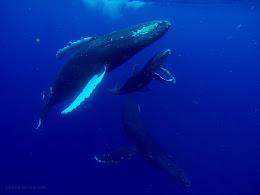 Humpbacks off the coast of Lahaina, Maui.