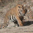 Tiger in India: A Species Invasion?