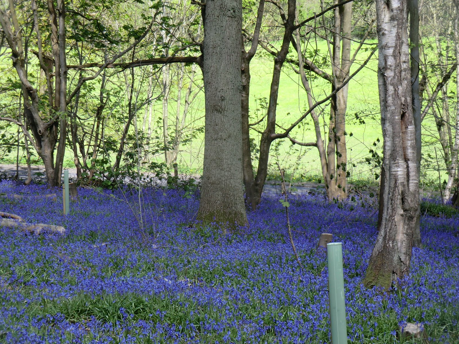CIMG4174 Bluebells, Banstead Wood