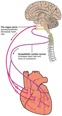 nerve supply to heart