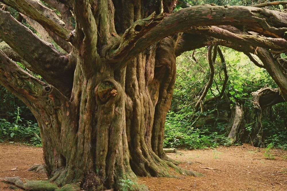 kingley-vale-yew-forest-2