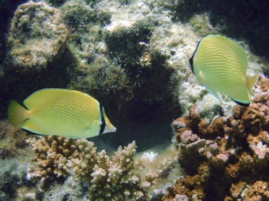 Chaetodon citrinellus (Speckled Butterflyfish), Aitutaki.