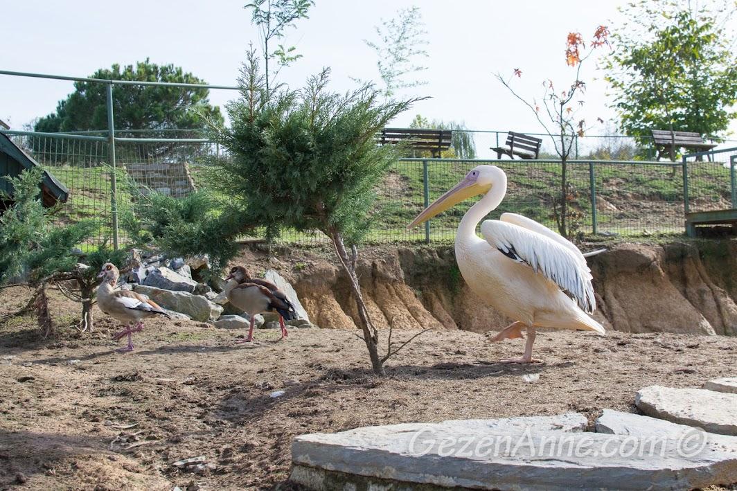 Piknik Park'taki pelikan ve kuşlar
