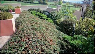 Taille d'entretien d'un talus avec des de Juniperus en nuage