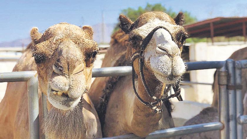 Camellos en la granja-escuela.