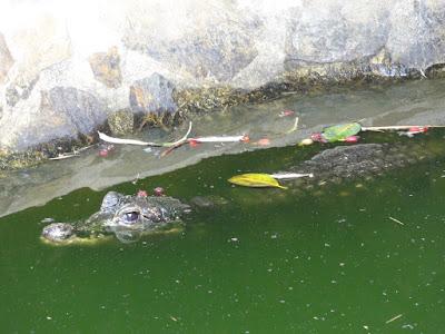 En krokodille liggende i vannflaten.