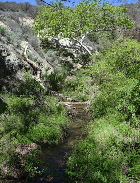 grassy stream and sycamore