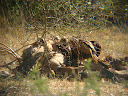 Some vultures feasting on a giraffe carcass. It was kind of sad really, it looked like it was a young giraffe and several other giraffes were just standing on the other side of the road staring in its direction. :-(
