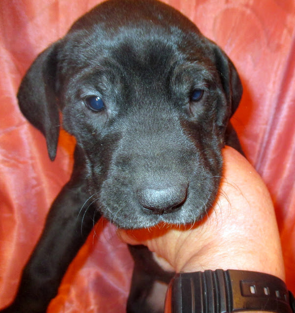 Available black female @ 5 weeks