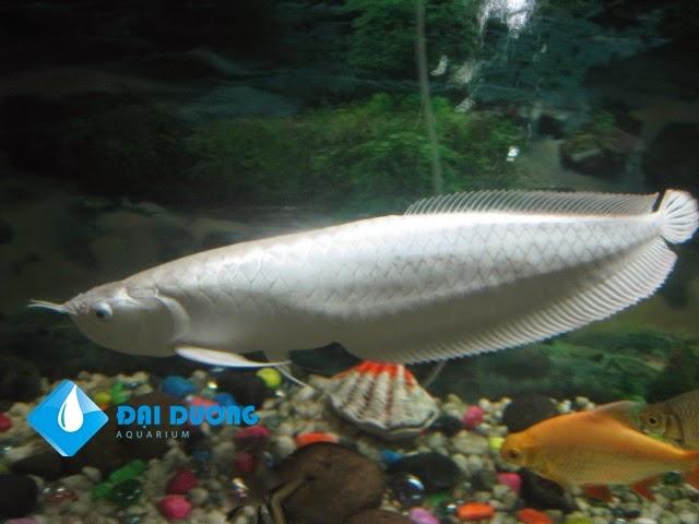 cá rồng platium chính gốc
