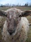 Fall lambs