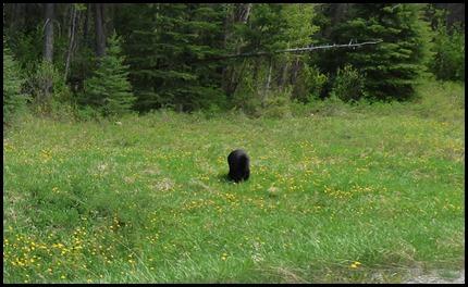 Black Bear near Kootenay National Park