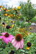 Riesenechinacea schönes FotoIMG_0714.JPG