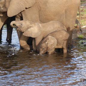Olifanten drinken uit de Chobe river