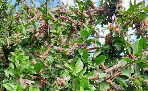 Locusts Prague fighting funds. PHOTO | BMS
