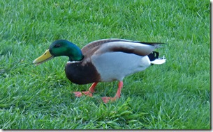 New visitor in backyard....a duck