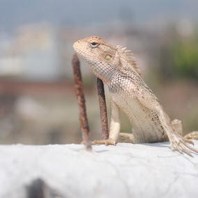 Over the Wall... by Pramesh Pokharel - Animals Reptiles ( climbing, lizard, nails, reptile, chameleon )
