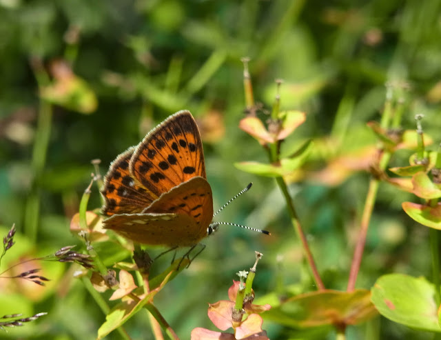 Lycaena (Heodes) virgaurae (L., 1758), femelle. Pentes au NE de Cheget (Terskol), 2000 m (Kabardino-Balkarie), 12 août 2014. Photo : J. Michel